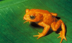 The golden toad was once abundant in a small, high-altitude region of Costa Rica. The last sighting was on 15 May 1989, and it has since been classified as extinct by the IUCN.