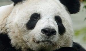 Tian Tian, the UK's only female giant panda.
