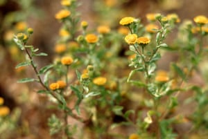 Small fleabane is now restricted to a few sites in the New Forest because reduced grazing by livestock has cut the amount of short pond-margin turf on which it relies