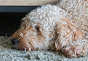 Labradoodle dog fast asleep with his head resting on a rug