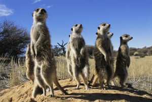 It's a long, hard slog to become a dominant meerkat