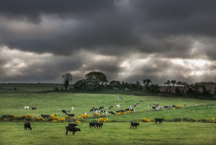 A heard of cows in Whitegate, Cork, Ireland