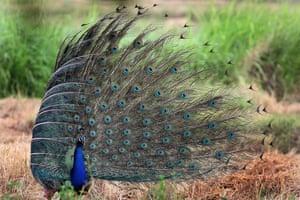 A peacock spreads its plumes in Damminna, Sri Lanka