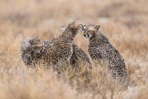 Cheetahs nuzzling