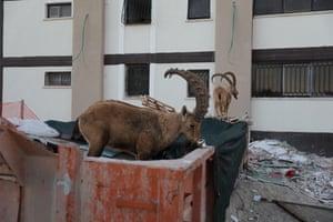Nubian ibex walk on a rubbish dump