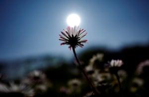 A daisy at ground level, sun behind