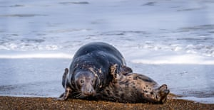 a pair of grey seals mate on the shoreline
