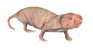 The naked mole rat in The Illustrated Encyclopaedia of Ugly Animals