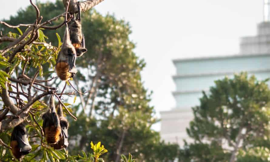 Grey-headed flying foxes in Sydney's Botanical Gardens.
