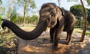 An Asian elephant … renewed threat.