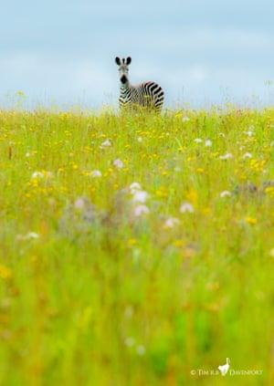 A zebra stallion in Kitulo national park, Tanzania