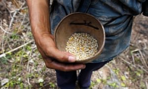 A farmer holds up dried corn kernels, donated by the World Food Programme to families affected by the drought in Orocuina, Honduras