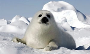 A harp seal pup or 'whitecoat' on an ice floe.