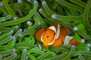 Winner - 11 to 14 years old: A mean mouthful by Sam Sloss, Italy/USA. On a diving holiday in North Sulawesi, Indonesia, Sam stopped to watch the behaviour of a group of clownfishes around their home, a magnificent anemone. t was only when he downloaded the photos that he saw tiny eyes peeping out of its mouth. It was a 'tongue-eating louse', a parasitic isopod that swims in through the gills as a male, changes sex, grows legs and attaches itself to the base of the tongue, sucking blood. When the tongue withers and drops off, the isopod takes its place.