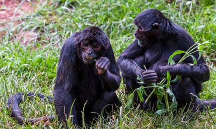 Colombian spider monkeys at the South Lakes Safari Zoo in 2016. The zoo has lost its licence.