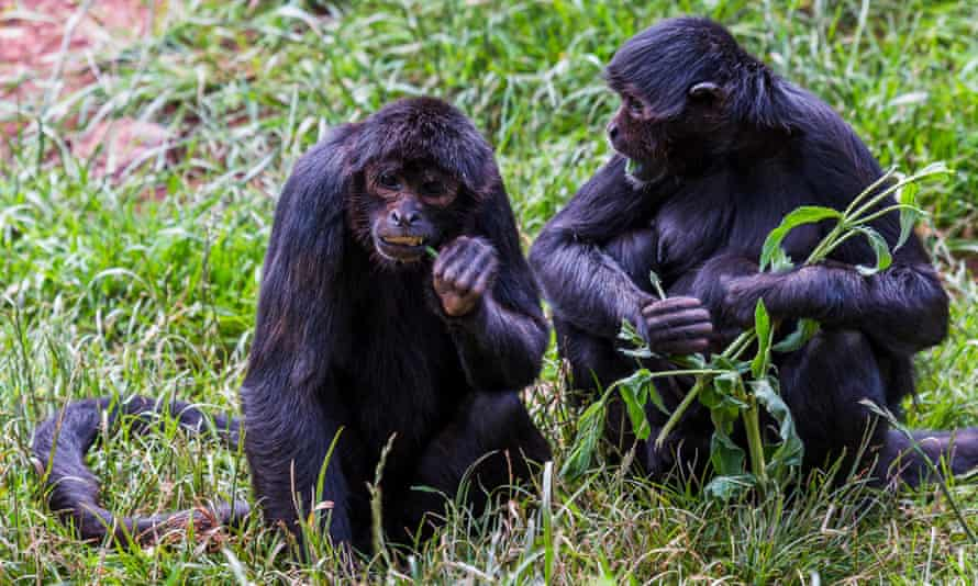 A pair of Colombian Spider Monkey feed in the long grass at the South Lakes Safari Zoo.