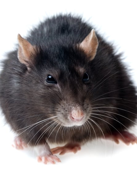 'Actually it is Britain's most endangered mammal': the black rat.