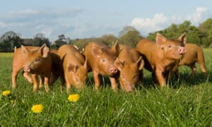 Piglets in field