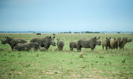 De-horned rhinos roam on the field at John Hume's Rhino Ranch in Klerksdorp, in the North Western Province of South Africa, on February 3, 2016.