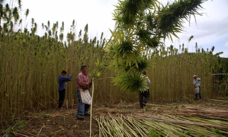Farmers collect hemp in Kastamonu, Turkey.