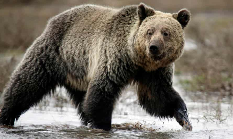 The attack was the fifth encounter between bears and humans this fall in that part of southwestern Montana.