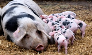 Porkers become  The Capital's governing metaphor.