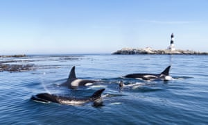 A pod of killer whales, or orcas, on the surface of a sea