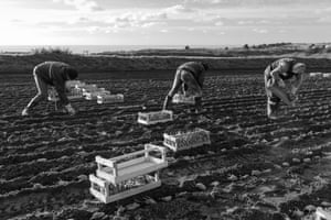 Planting Jersey Royals: 'A very well arranged image showing potato pickers. Looks like back-breaking work.' Martin Parr