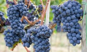 A Montalcino vineyard.