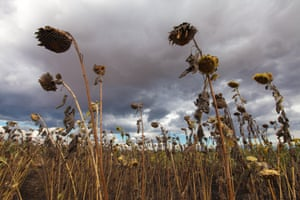 Sunflowers in southern Malawi during the drought and food crisis of 2016
