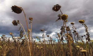 Field of dying sunflowers beneath storm clouds in southern Malawi,