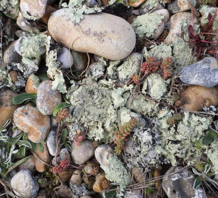 Lichen heath, Dungeness