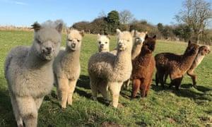 Group of Alpacas in a field.
