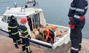 Saved sheep