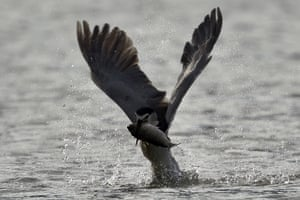 A black-crowned night-heron catches a fish from lake Wantan in New Taipei city, Taiwan