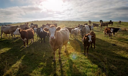 Simmental and Hereford cattle