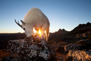 """'Moments before the sun dipped below the mountains, I captured this nanny licking minerals below the mountain peak. Positioning myself in just the right spot, I was able to create a """"sunstar"""" for an additional element of interest in the frame.'"""