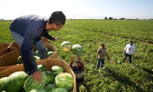 Workers pick watermelons in California.