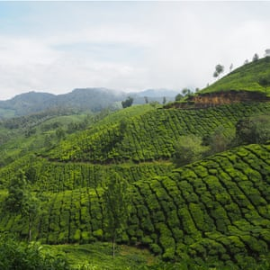 Sea of tea, Munnar