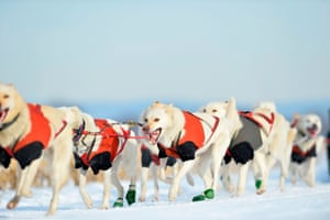 The Alaskan husky is an efficient sled dog that is bred primarily as a working animal