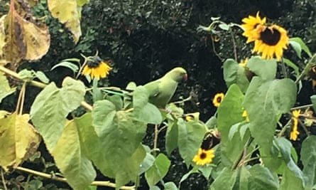 Flash of colour: a parakeet stops off at the plot