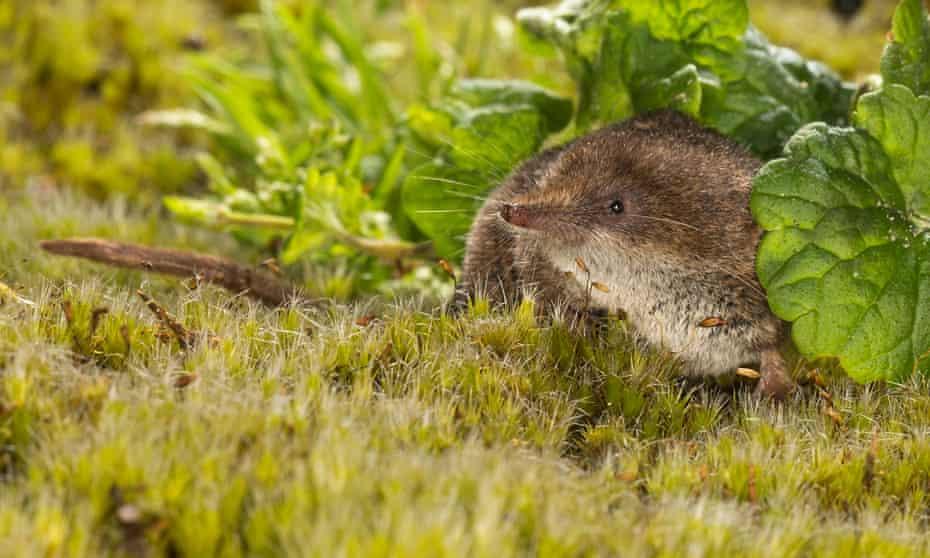 A pygmy shrew foraging in vegetation