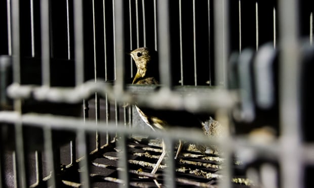 A song thrush that was caught by poachers in Brescia and used to lure other birds. Photograph: WWF Italy