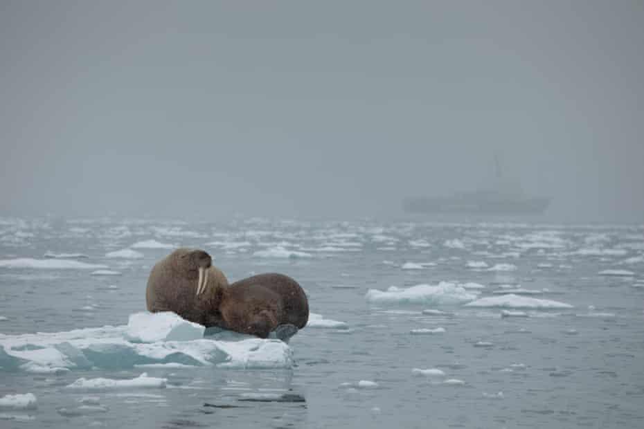 Walruses on sea ice near the Arctic Sunrise