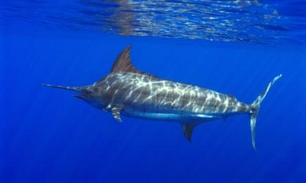 Atlantic blue marlin (Makaira nigricans)