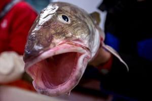 Barents sea cod