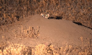 A black-footed ferret peers out from a burrow