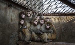 Caged monkeys