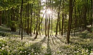 beech woods with drifts of wild garlic