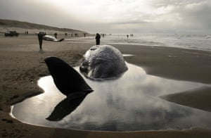 People stand near beached sperm whales on 13 January, that died after they became stranded on the Dutch island of Texel